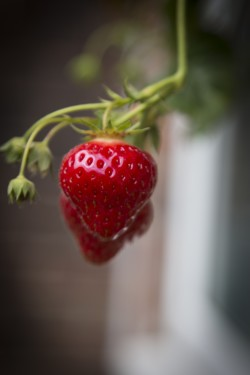 strawberry-plant-1497456491Mzn